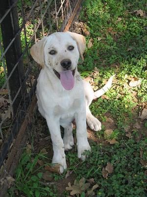 Dog Training For  Month Old Labrador