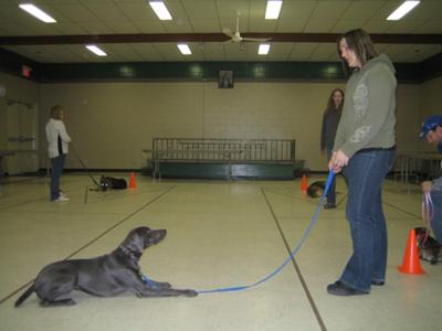 Blue doing a great down-stay in class.