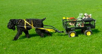 Black Russian Terrier Working Dog