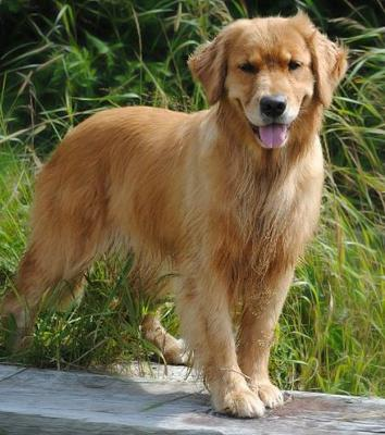 K 9 Golden Retriever Reg d Golden Retrievers