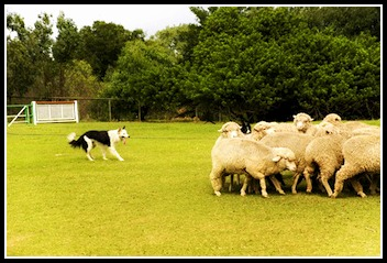 Dog whistle training for herding.