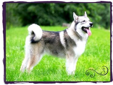 An Alaskan Malamute Sled Dog