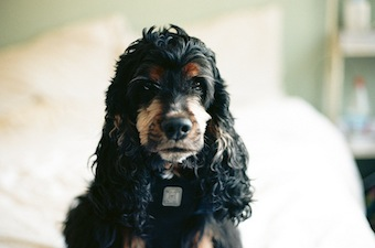 Cocker Spaniel non allergic dog breed
