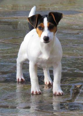 Valentina Selective Jack Russell Terriers