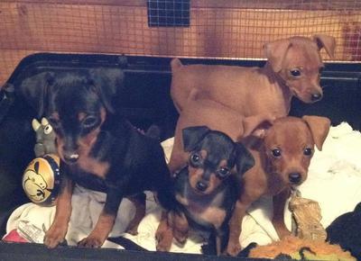 Litter of pups